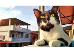猫,厄瓜多尔,动物,黄眼睛537441