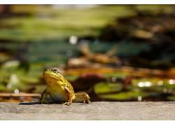 摄影,青蛙,背景虚化,岩石,植物,宏,两栖动物407581