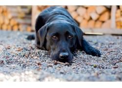 黑色,动物,狗581905