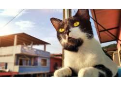 猫,厄瓜多尔,动物,黄眼睛537442
