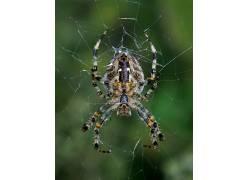 蜘蛛,动物387215