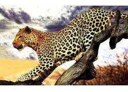 动物,豹(动物)378695