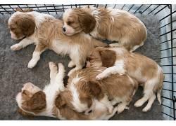 小狗,睡眠,狗,动物555815
