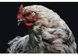 摄影,鸡,鸟类,动物,特写449785