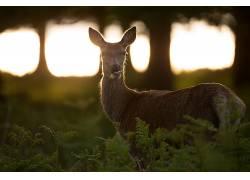 摄影,鹿,动物,阳光,看着观众,植物,树木,野生动物,吃383526