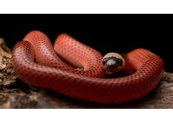 黑领蛇,蛇,动物,爬行动物494775