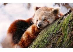 动物,野生动物,红熊猫473901
