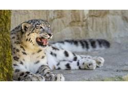 动物,野生动物,雪豹497379