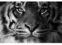 动物,虎,猫的,哺乳动物,特写441836