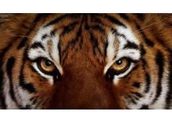 动物,虎,眼睛488240