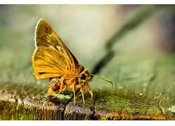 宏,鳞翅类,昆虫,动物372366