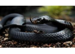 动物,蛇,爬行动物,曼巴377348