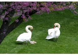 小动物,一对,鸟类,天鹅,动物570101