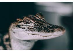 摄影,动物,短吻鳄475076