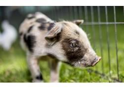 小动物,动物,猪496475