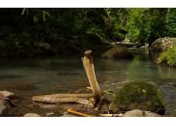 动物,蛇,爬行动物,眼镜蛇377352