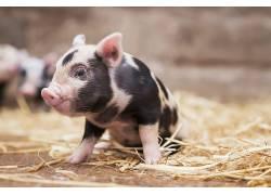 小动物,动物,猪609383