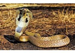 动物,蛇,爬行动物,眼镜蛇377355