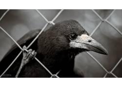 摄影,单色,动物,鸟类,掠夺,篱笆,特写,喙,景深653947