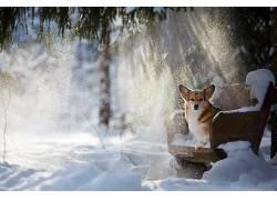 狗,动物,椅子,雪,柯基犬618240