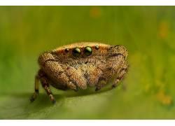摄影,宏,蜘蛛,树叶,眼睛,动物410467