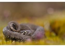 摄影,性质,宏,蛇,景深,草,休息,背景虚化,爬行动物407426