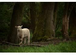 摄影,性质,树木,羊,草,植物,苔藓,看着观众,森林,科,羊肉,小动物4
