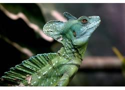 摄影,性质,爬行动物,变色龙,侧面图381652