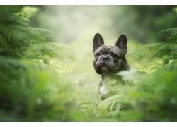 摄影,性质,狗,植物,看着观众,宠物,动物,黑色,法国斗牛犬,牛头犬4
