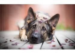 狗,动物,特写,树叶,棕色的眼睛,德国牧羊犬,木表面,伤心,景深5548