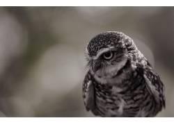 摄影,性质,猫头鹰,背景虚化,鸟类,野生动物384452