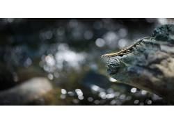 摄影,性质,蜥蜴,背景虚化,岩石,望着远处,爬行动物406411