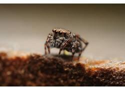 动物,蜘蛛,蜘蛛,Salticidae,宏440291