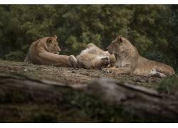 摄影,性质,野生动物,树木,狮子,动物,野猫,放松,树叶,草384454