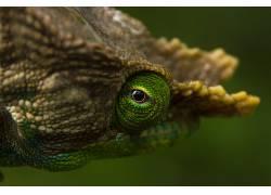 摄影,性质,野生动物,牛角,变色龙,宏,绿色381668