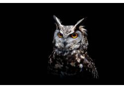 黑暗,猫头鹰,鸟类,动物571553