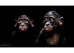 黑暗,类人猿,动物565304