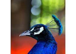 摄影,性质,面对,孔雀,鸟类,华美,眼睛,野生动物394060