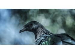 摄影,性质,鸟类,野生动物,苏门答腊,鸽子,鸽子,蓝色,宏384455