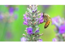 动物,蜜蜂,植物,宏376822