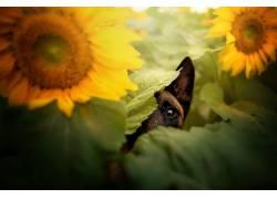 狗,动物,花卉,向日葵674899