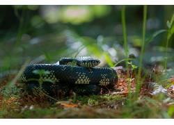 摄影,蛇,眼镜蛇,国王,植物,野生动物,爬行动物,背景虚化,草383996