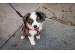 小动物,狗,动物,红色的merele,澳大利亚牧羊犬,蓝眼睛460035