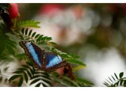 摄影,蝴蝶,背景虚化,树叶,蓝色,宏,昆虫,动物386382