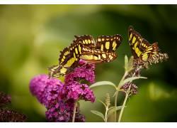 摄影,蝴蝶,花卉,粉色的花朵,宏,昆虫,植物,动物386390