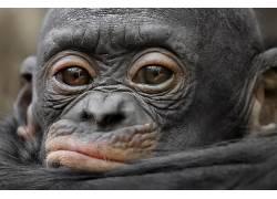 小动物,类人猿,动物629923