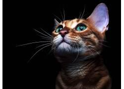 猫,动物的眼睛,动物的耳朵,动物,黑色背景647647