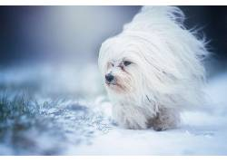 狗,动物,雪,白色610458