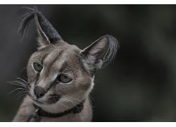 摄影,野生动物,野猫,面对,狞,耳朵,头发383993