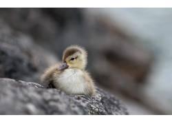 小动物,鸭,动物567693